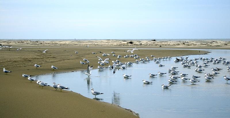 lots of gulls on Fisherman Island-Credit USFWS