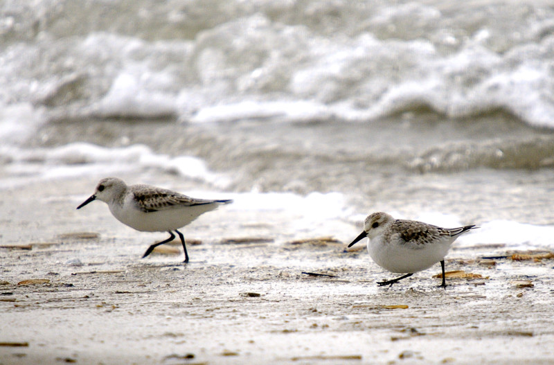 shorebirds-on Fisherman Island-Credit USFWS