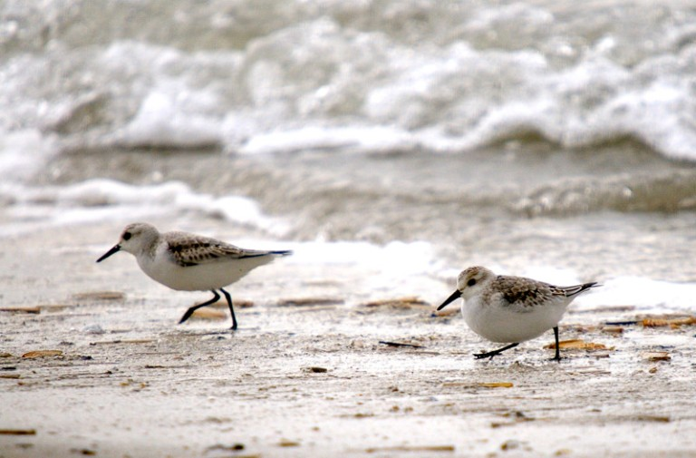 shorebirds-on Fisherman Island-Credit USFWS